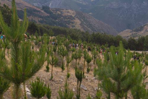 Más de un millón de árboles de las especies pino, queñua, tara y eucalipto serán sembrados mañana en las siete provincias de Apurímac.