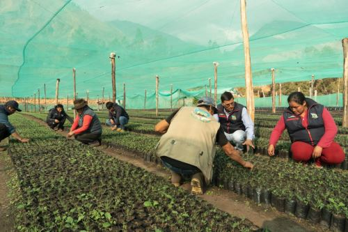 En las siete provincias de la región Apurímac existen 42 viveros forestales, de donde se han extraído los plantones que se sembrarán este viernes.