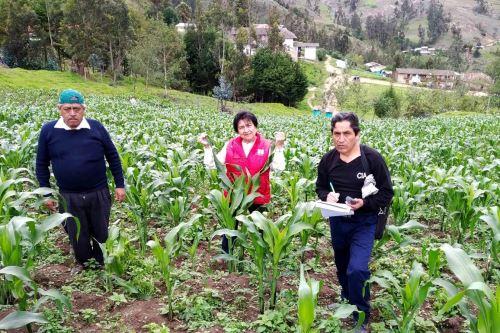 La investigadora cajamarquina Alicia Medina Hoyos entre plantaciones de maíz morado.