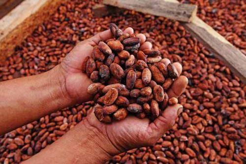 El cacao proveniente de las áreas naturales protegidas es muy especial.