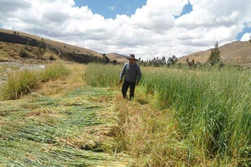 Un total de 1,640 hectáreas de pastos se sembrarán en las provincias limeñas de Cajatambo, Canta, Huaral, Huarochiri, Huaura, Oyón y Yauyos.