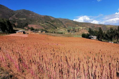 Con el uso del guano de las islas, la producción de quinua se incrementó de 200 kilos por hectárea a dos toneladas por hectárea.