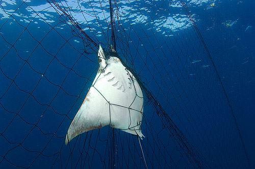 Las redes de pesca abandonadas someten a una muerte lenta y dolorosa a las especies marinas.
