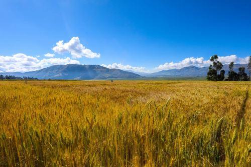 Los pequeños productores contar con elevados rendimientos de hasta 5,000 kilos por hectárea.