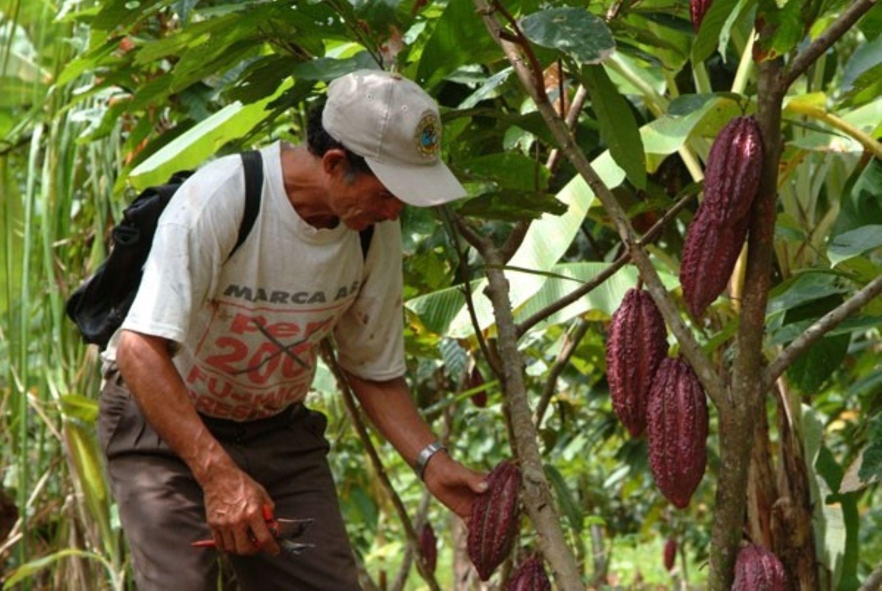Región San Martín busca prevenir incidencia de cadmio en el cacao. ANDINA/archivo