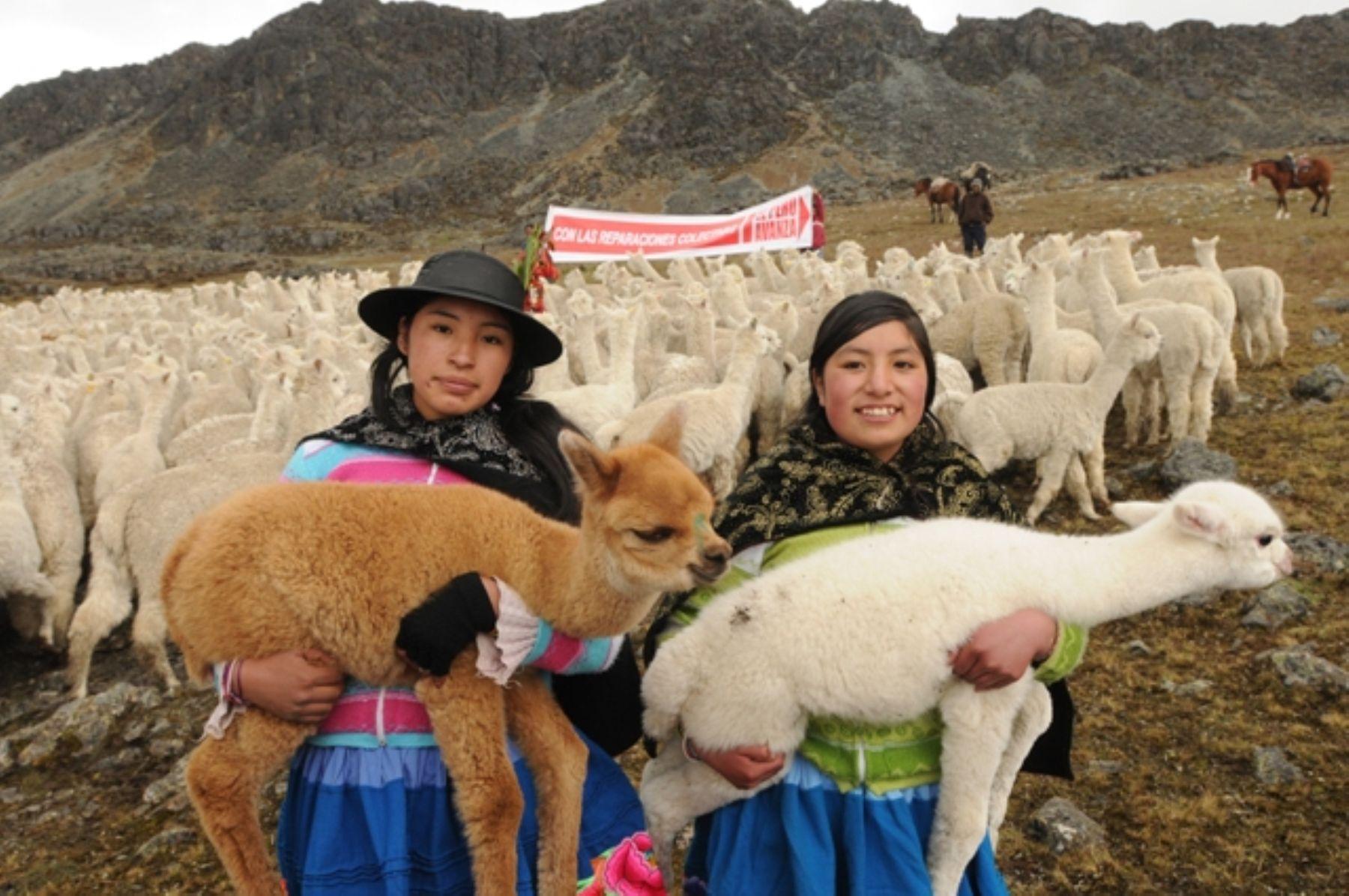 El proyecto busca mejorar la calidad de la fibra de lana de alpaca que se produce en Ayacucho.