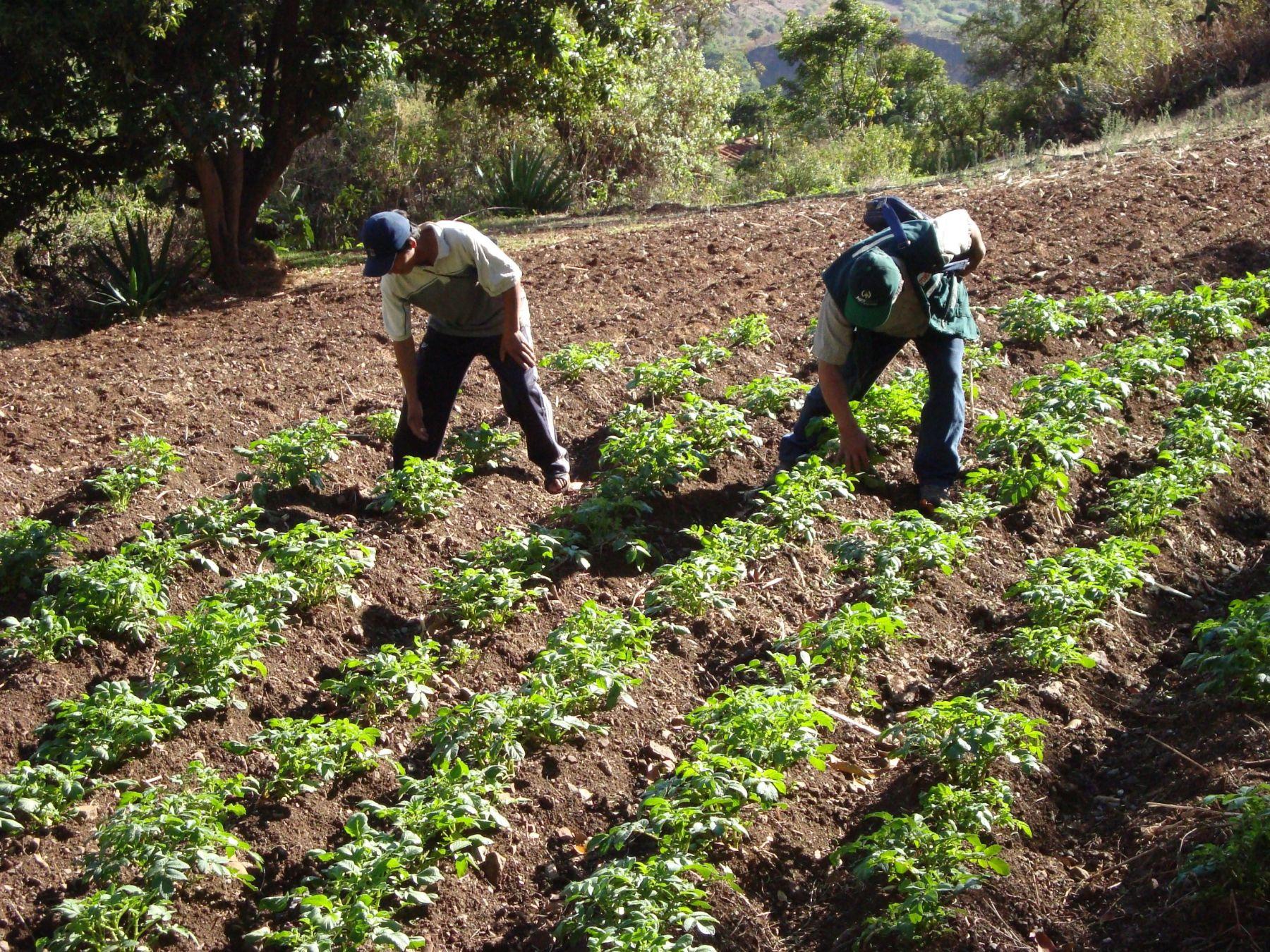 Con parcelas demostrativas buscarán incentivar el cultivo de arándanos y frambuesas en Cañaris e Incahuasi, región Lambayeque.