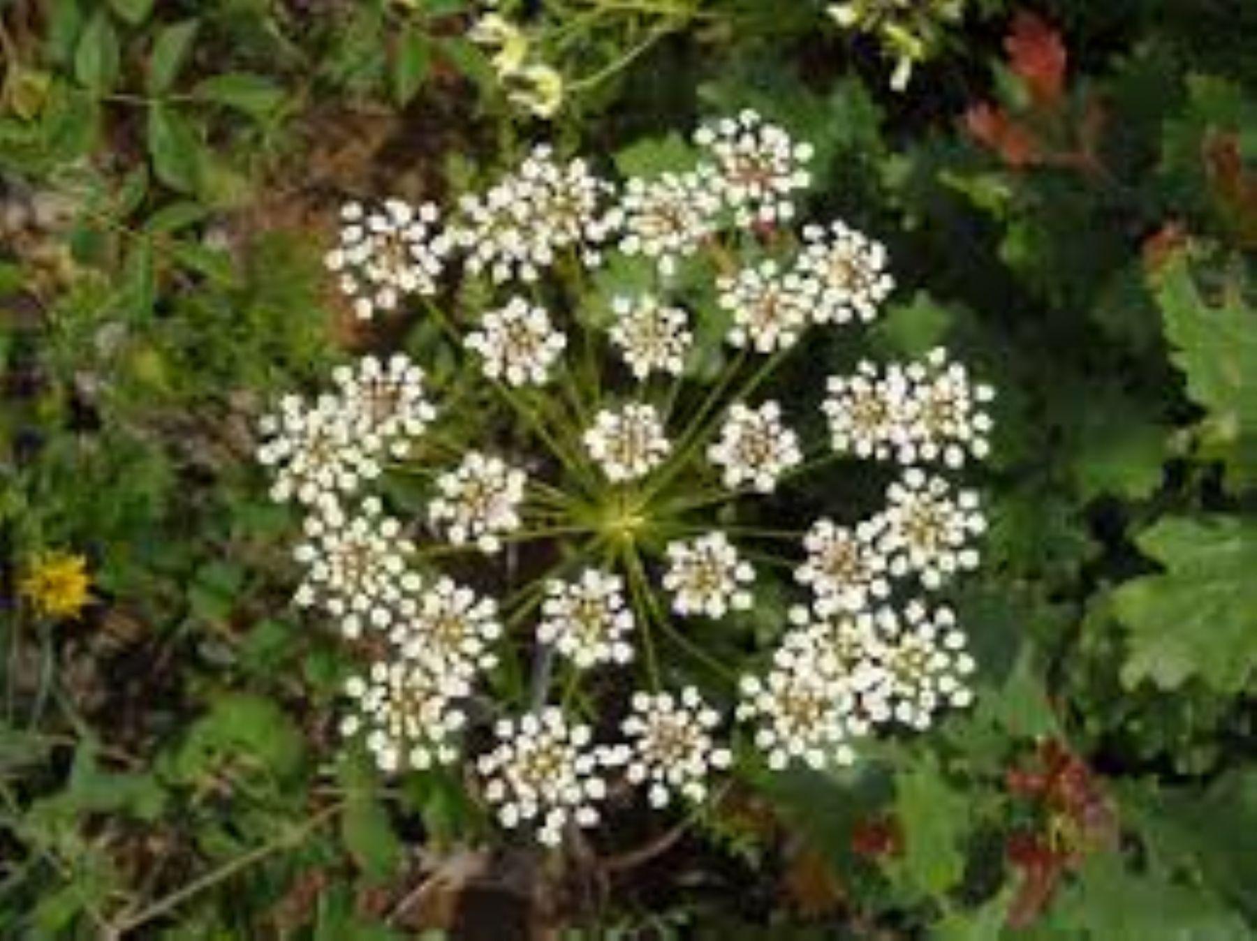 El anís es una de las 11 plantas medicinales cuyas propiedades curativas remarca EsSalud. Foto:Internet
