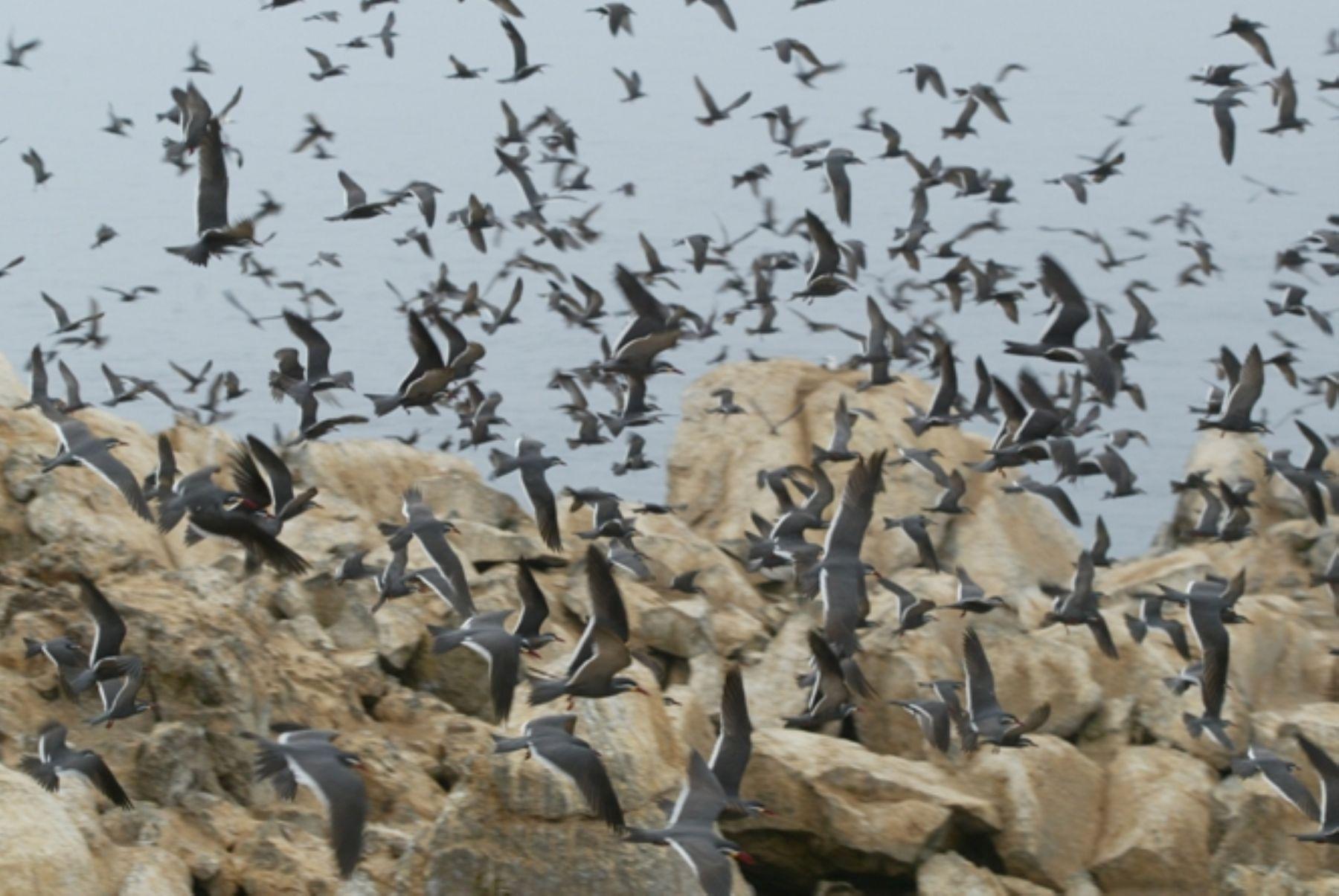 Se incrementa la población de aves guaneras.