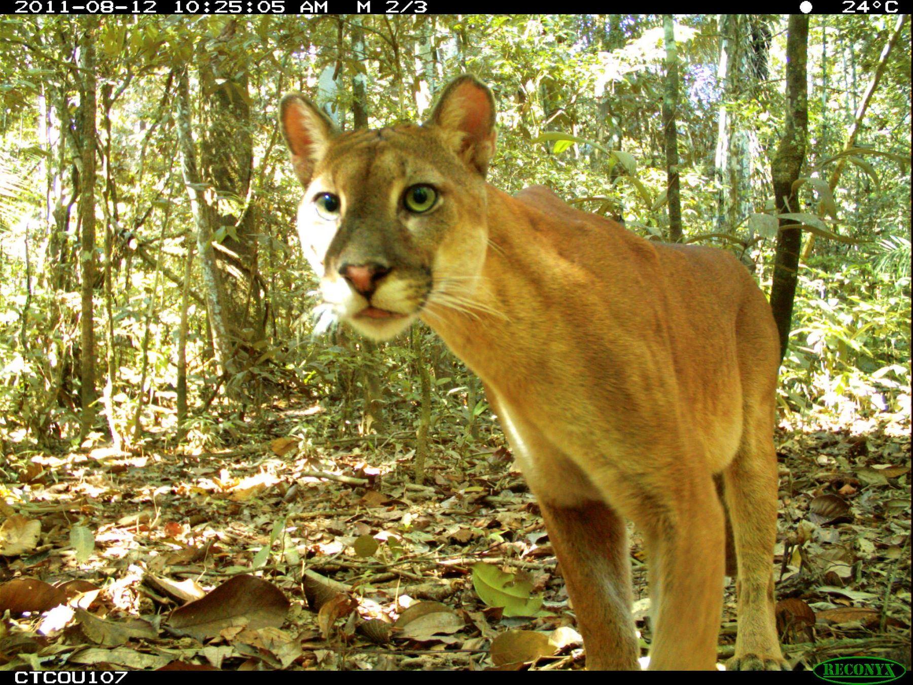 Cámaras trampa obtienen imágenes de especies en el Parque Nacional del Manu. Foto: ANDINA/Difusión.