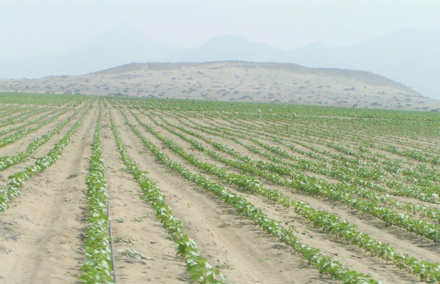 Continuidad del Proyecto Lomas de Ilo ampliará frontera agrícola en 5,000 hectáreas. INTERNET/Medios