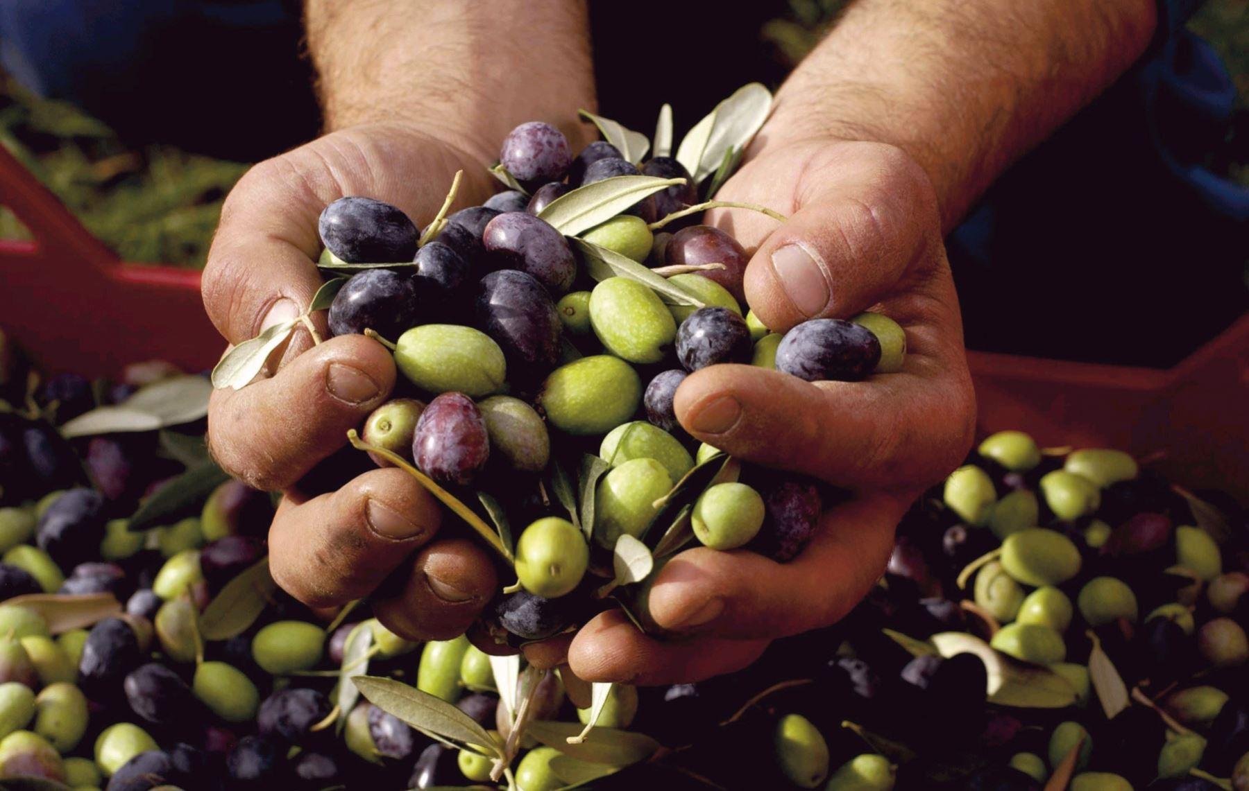 Arequipa optimizará la producción y calidad de aceituna en la provincia de Islay. ANDINA/archivo