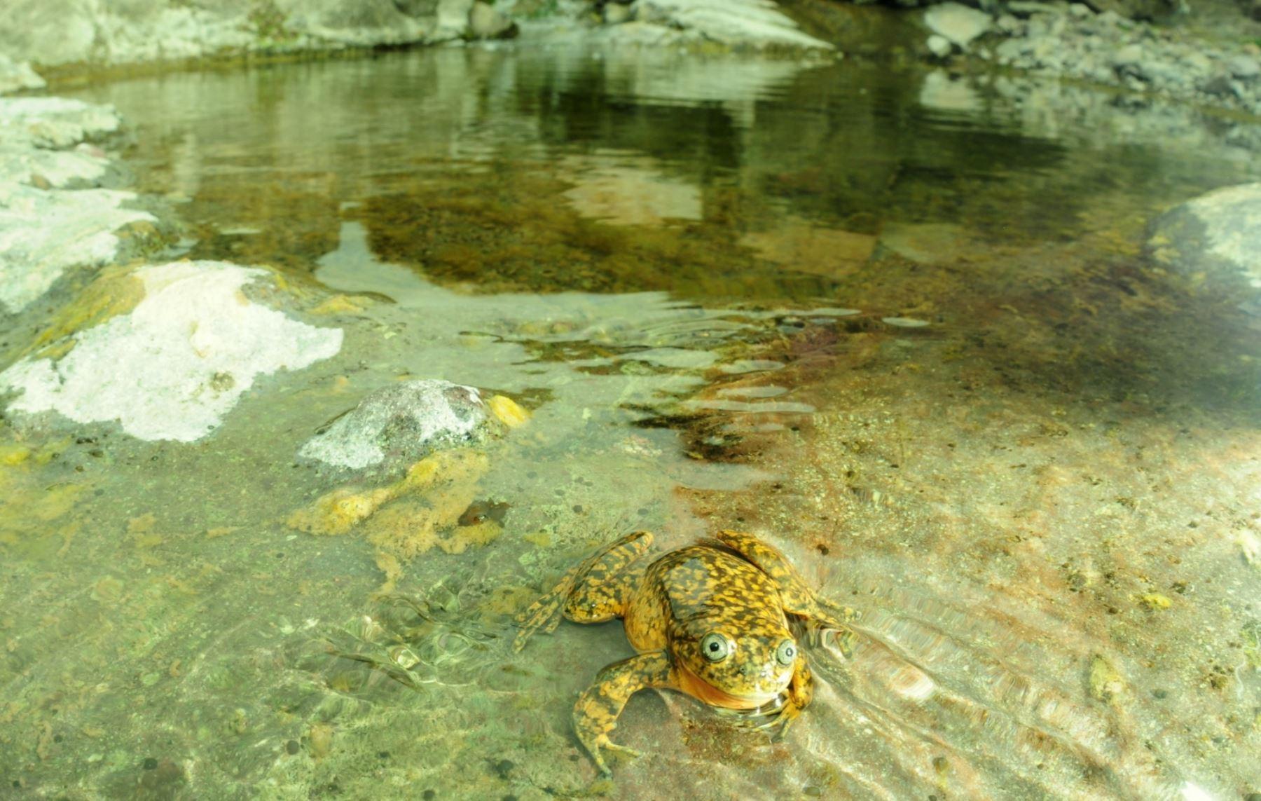Nueva especie de rana fue descubierta en afluente del río Pisco, en Huaytará, Huancavelica.