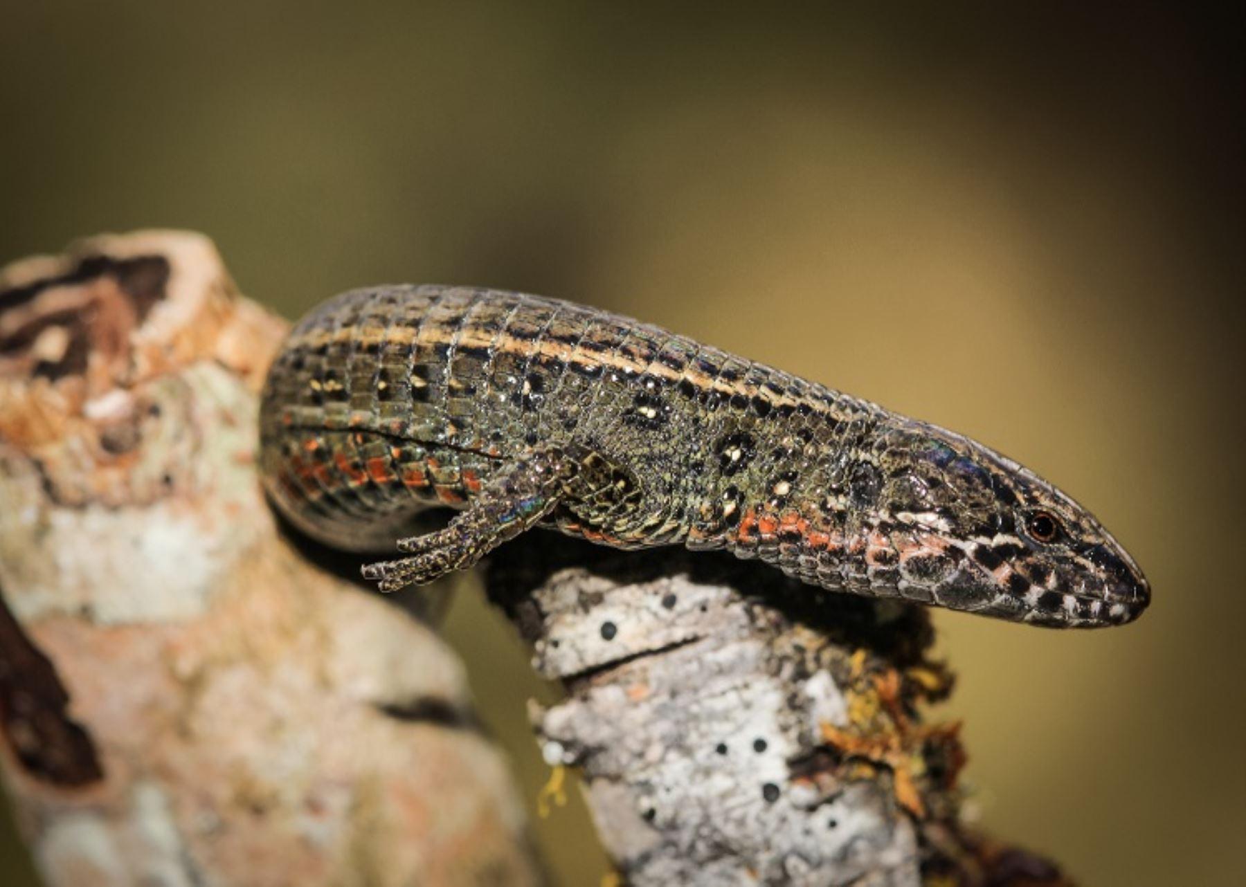 Descubren nueva especie de lagartija en el Santuario Histórico de Machu Picchu. ANDINA/Difusión