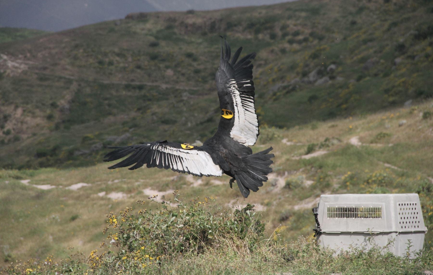 Dos cóndores fueron reinsertados exitosamente a su hábitat natural en la sierra de Lima tras recibir cuidados médicos de especialistas. ANDINA/Juan Celi