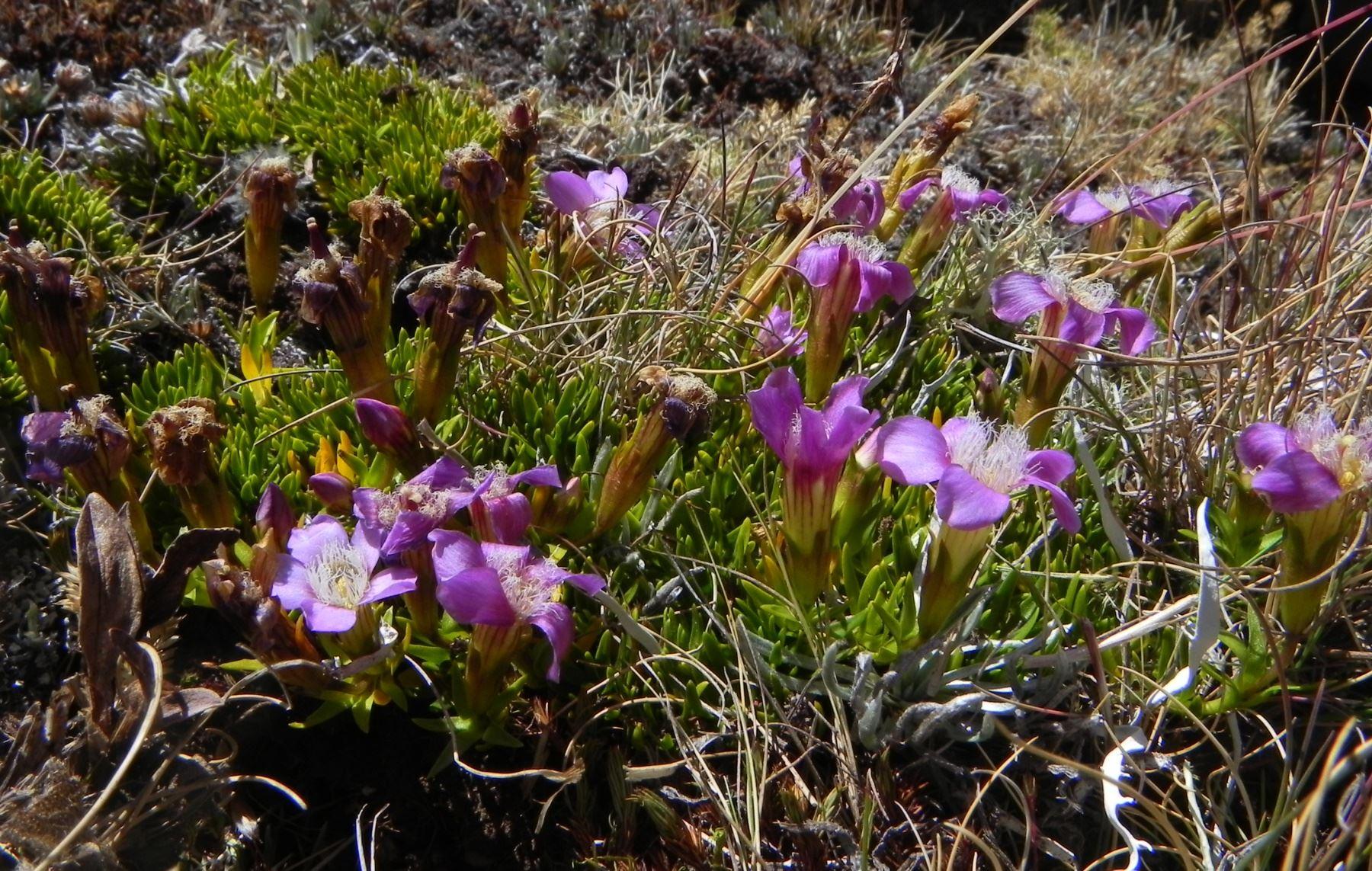 La planta medicinal hercampuri figura en la lista de especies en peligro crítico de extinción. ANDINA/Serfor