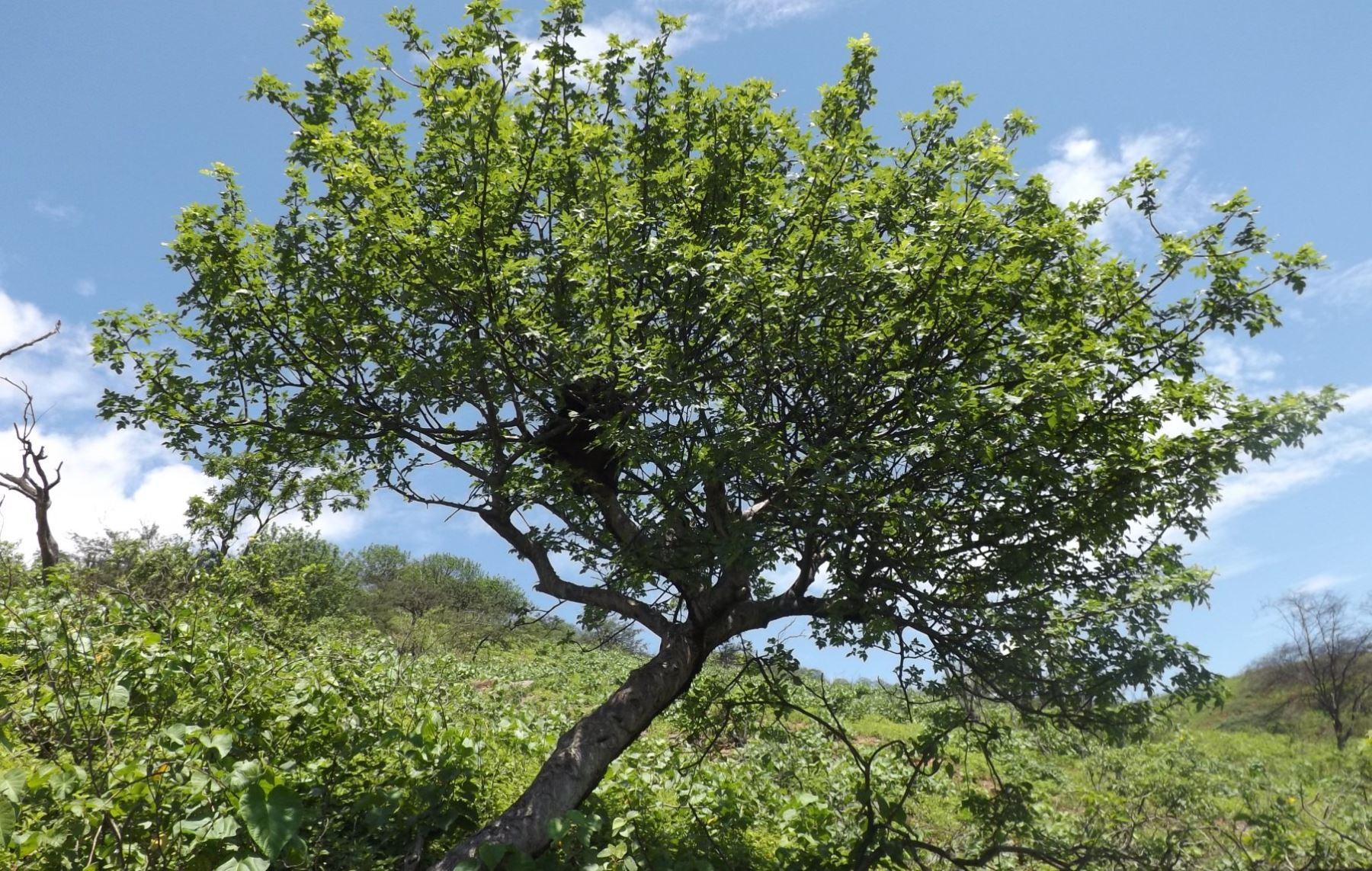 El palo santo, conocido también como madera sagrada, es una especie en peligro crítico de extinción. ANDINA/Difusión