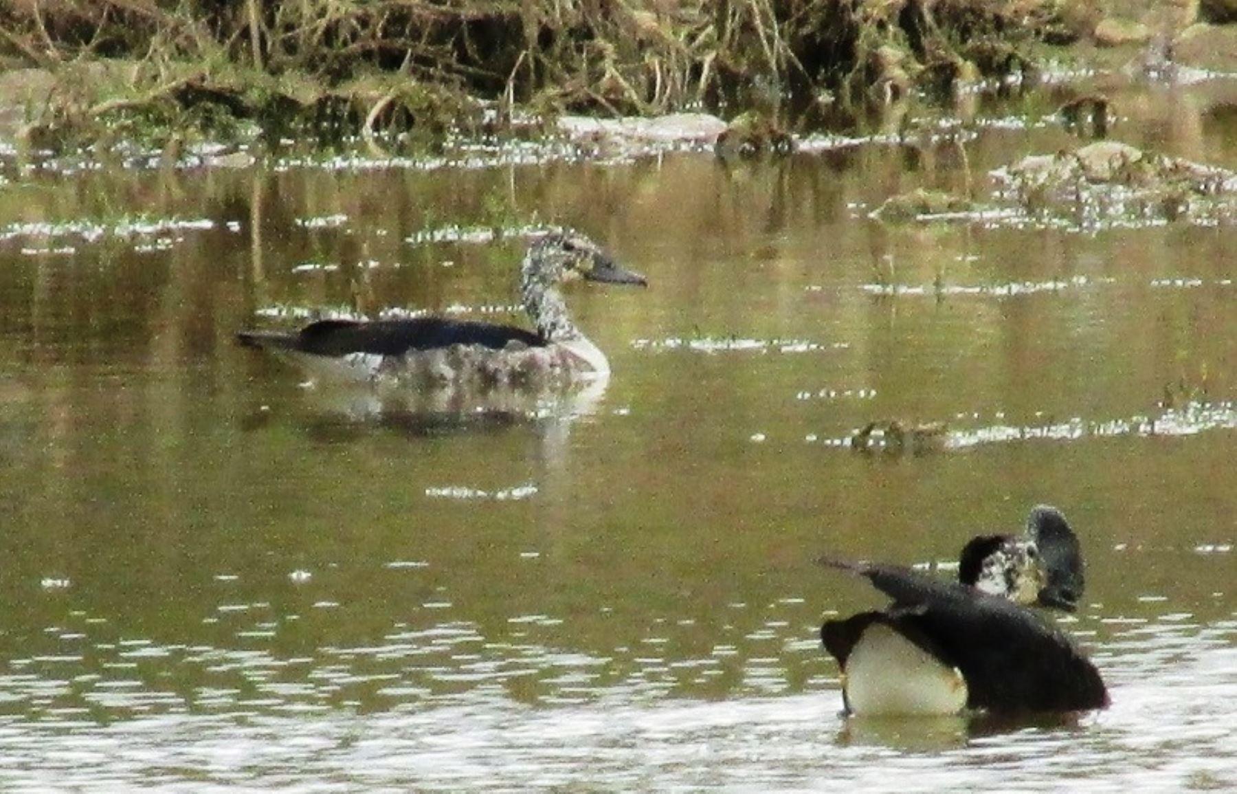 Esta es la primera vez que se reporta la presencia del pato crestón en el Parque Nacional Cerros de Amotape. ANDINA/Sernanp