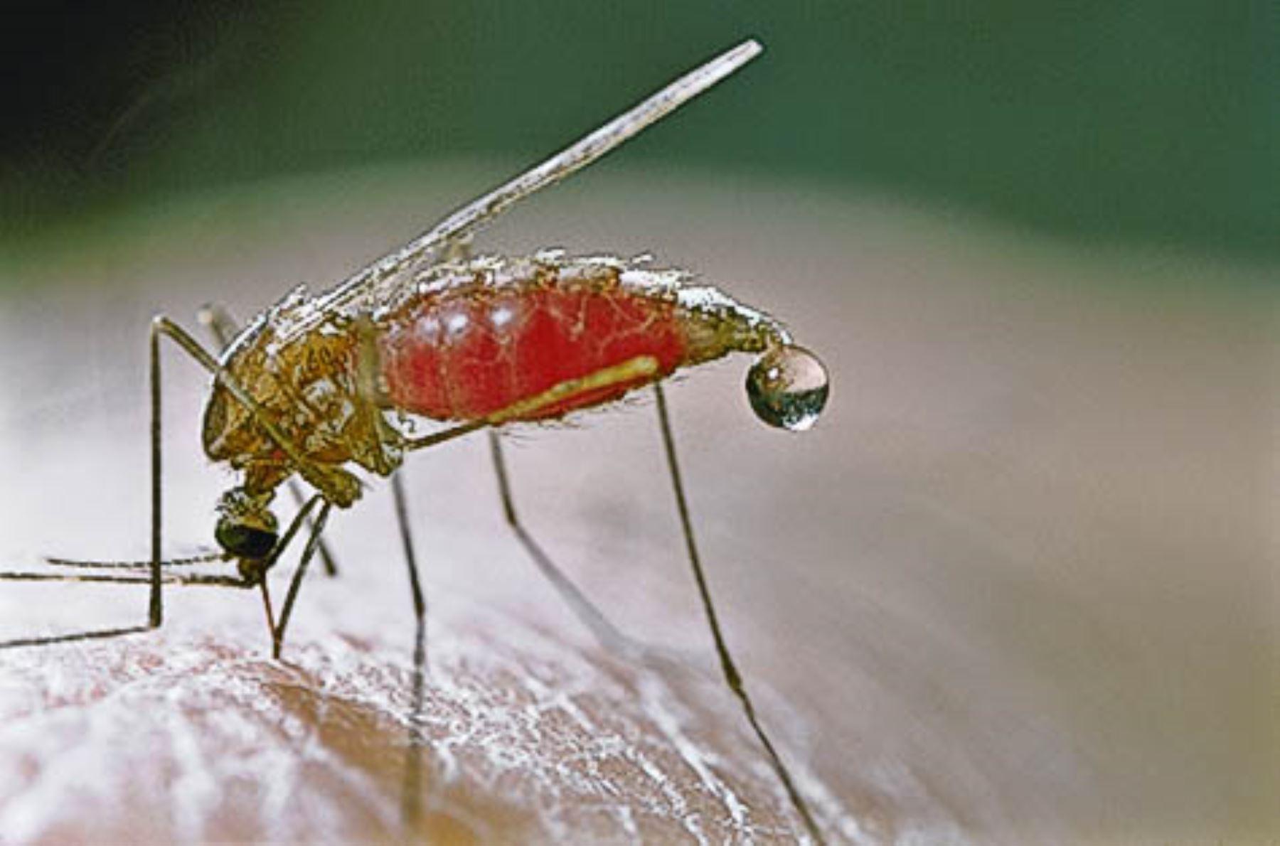 El mosquito Anopheles