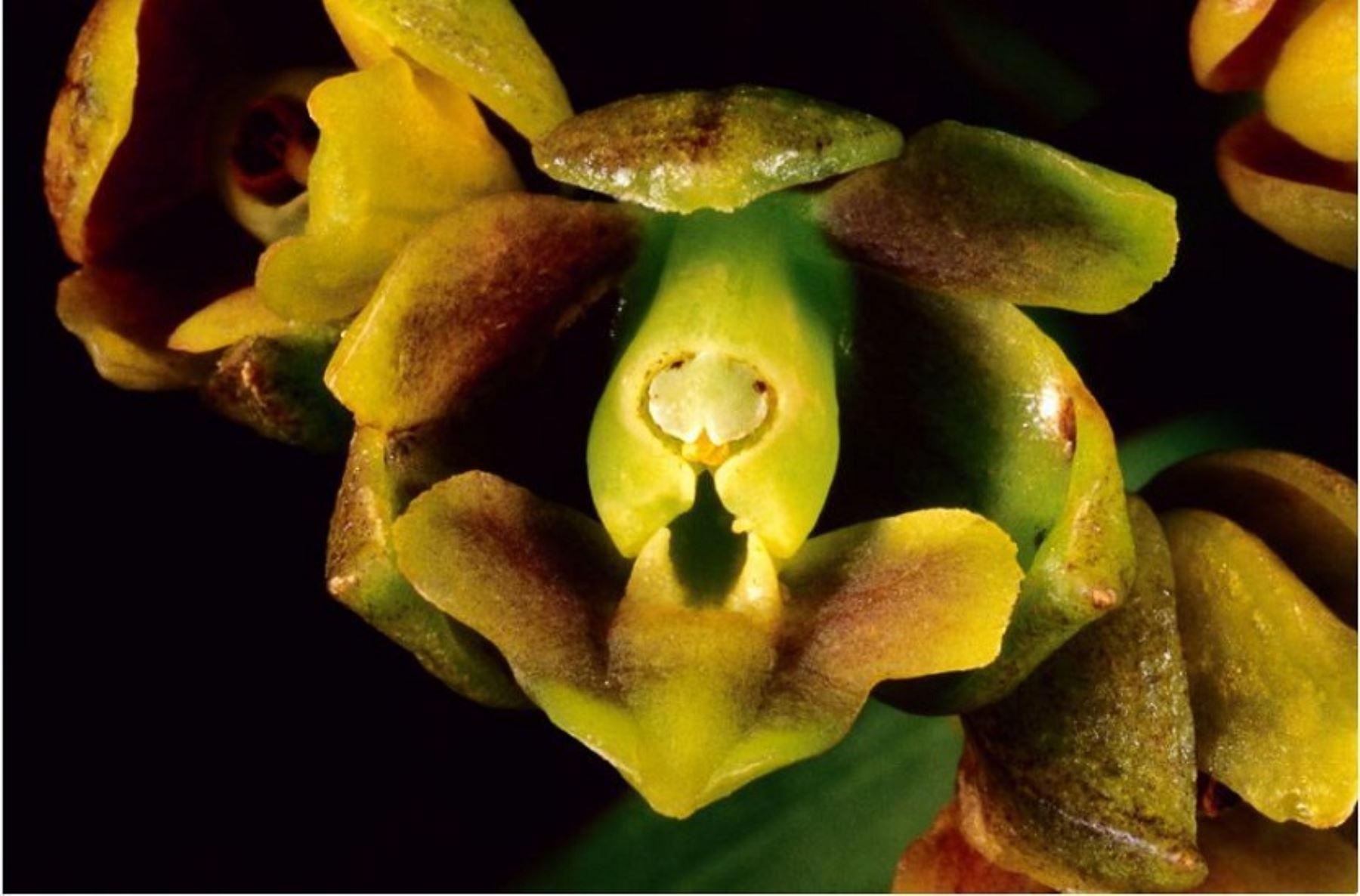 Se trata de especies Epidendrum Ochoae, Epidendrum Incahuamanii, y Epidendrum Mormontoy.