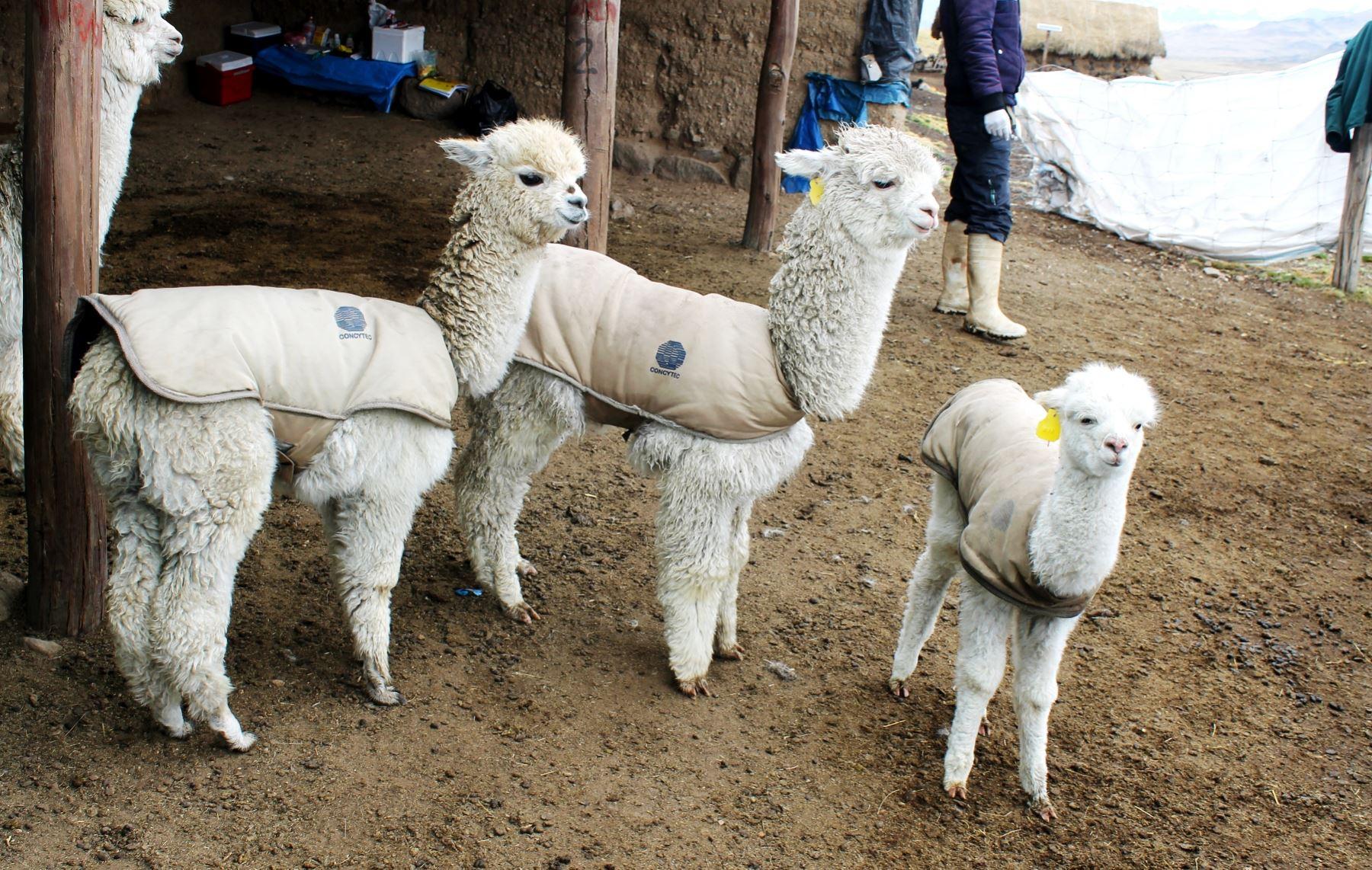 Proyecto plantea el uso de chalecos térmicos para proteger a las crías de alpaca ante las heladas en zonas altoandinas.