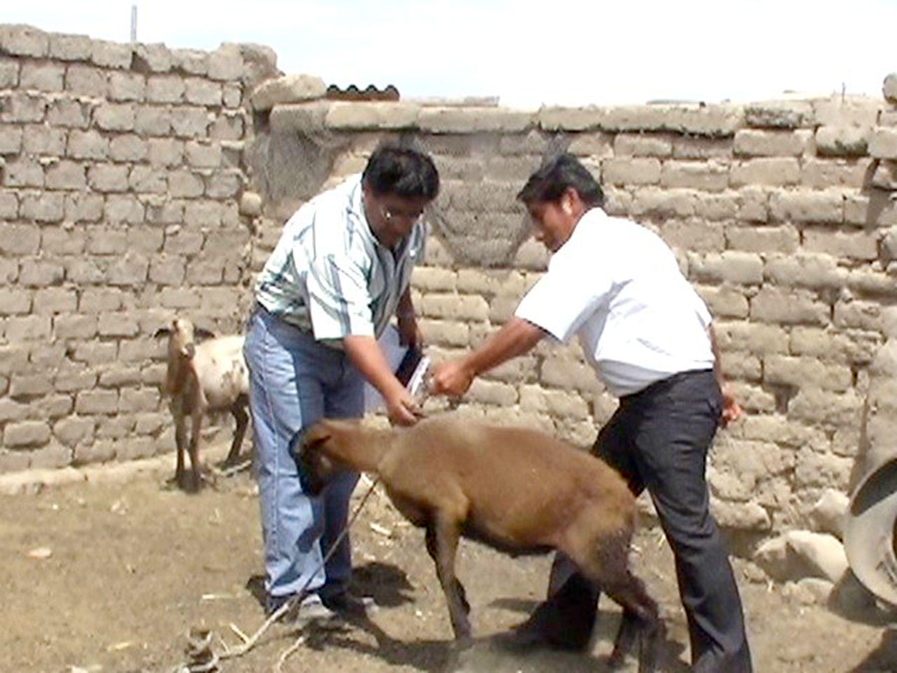 Piura ocupa primer lugar en producción de ganado caprino. Foto: ANDINA/archivo.