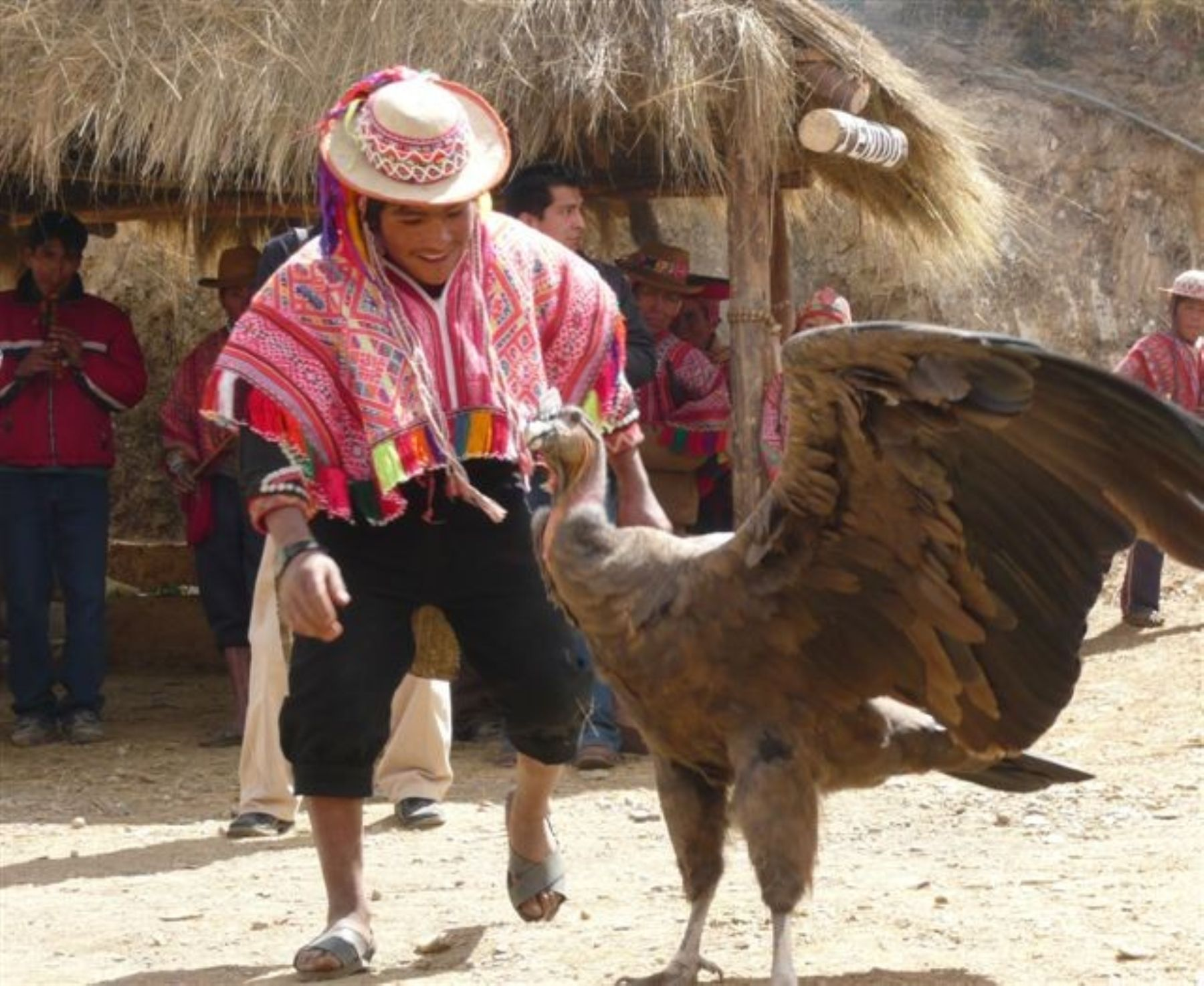 The Andean Condor is a species of South American bird in the New World vulture family. Photo: ANDINA / Mincetur.