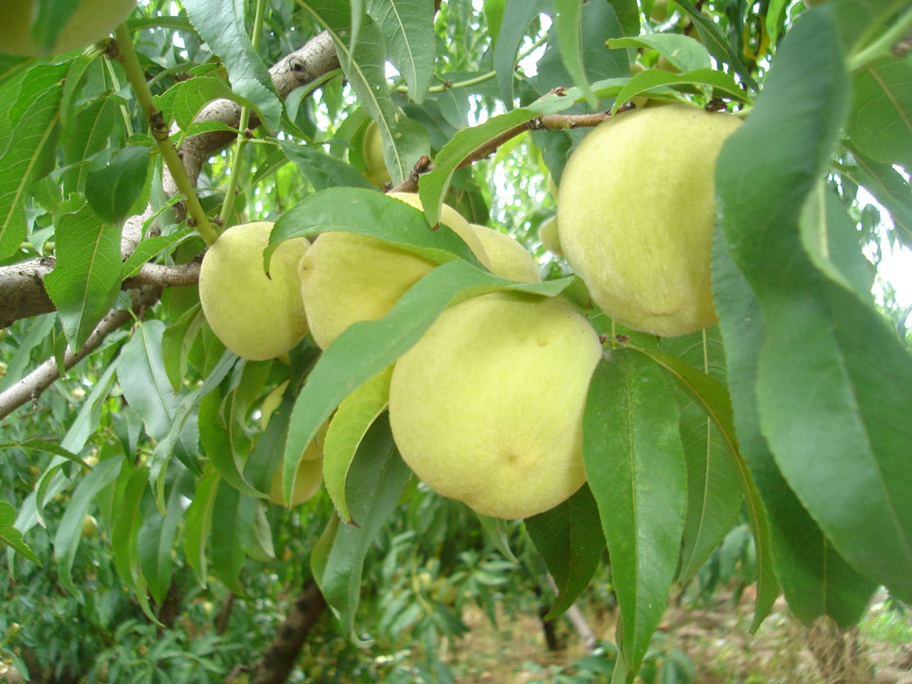 Productores buscan diversificar su producción agrícola con el durazno. ANDINA/Difusión
