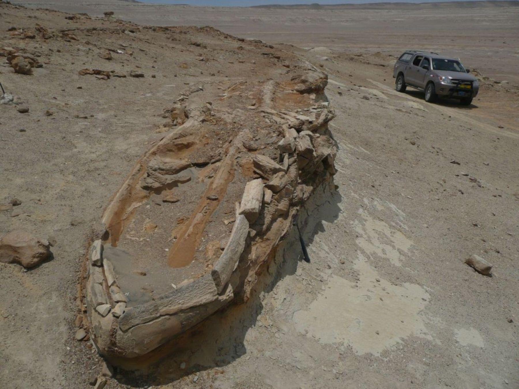 Fósiles de ballenas destacan en el hallazgo. Foto: Andina/ Ingemmet.