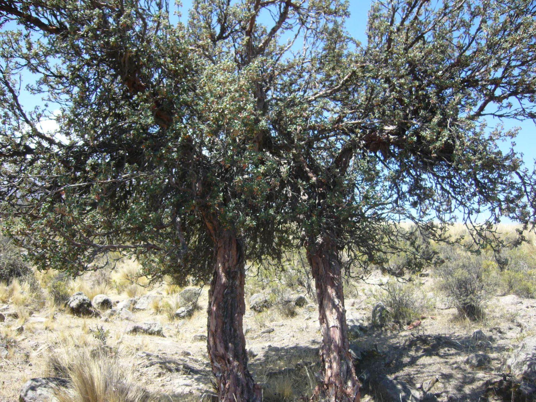 El queñual es una especie nativa de Arequipa en peligro de extinción.
