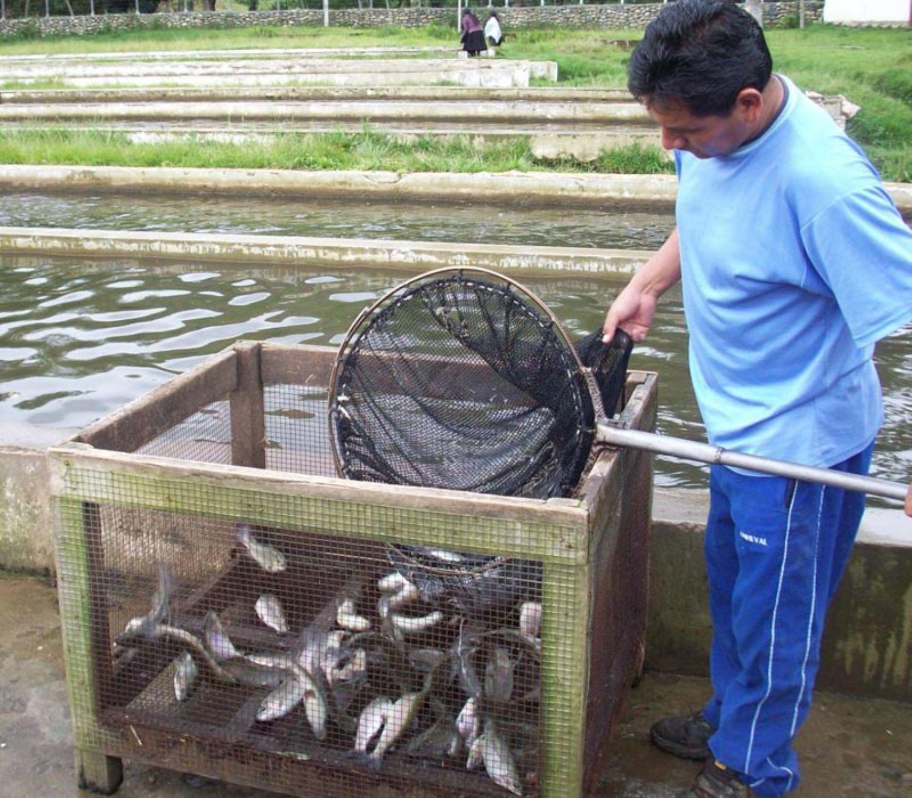 Truchas producidas en la laguna de Carpa, en la provincia huanuqueña de Huamalíes. Foto: Gobierno regional de Huánuco.