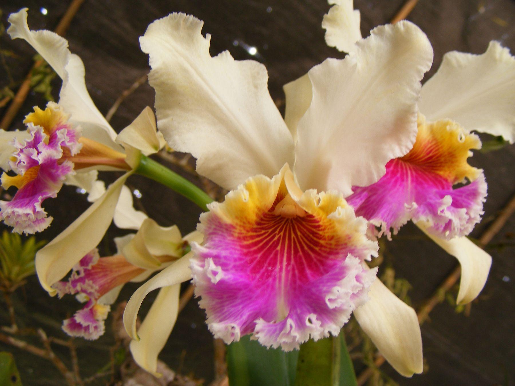 Exposición internacional iniciará el Festival de la Orquídea en Moyobamba.