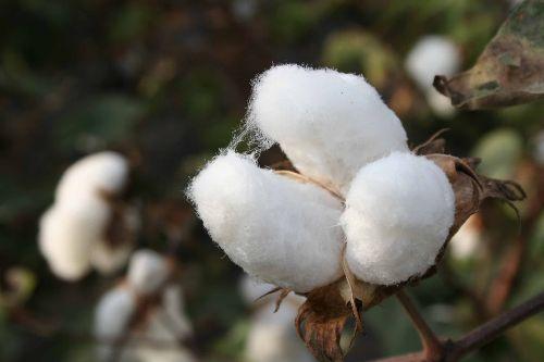 Lambayeque aumenta áreas sembradas de algodón en campaña 2018-2019. ANDINA/Difusión