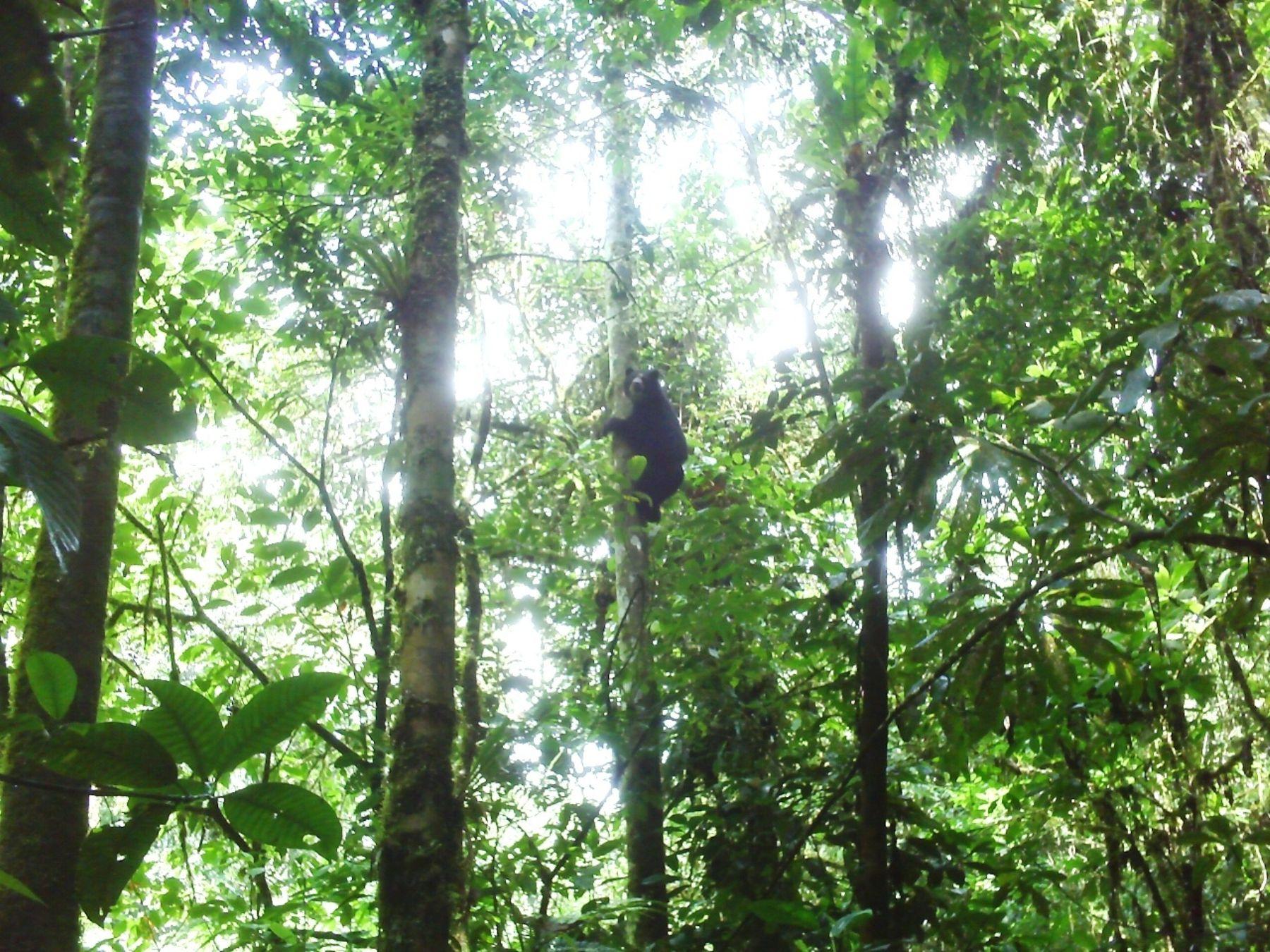 TARAPOTO, PERU. Oso de anteojos avistado en parque nacional Cordillera Azul.