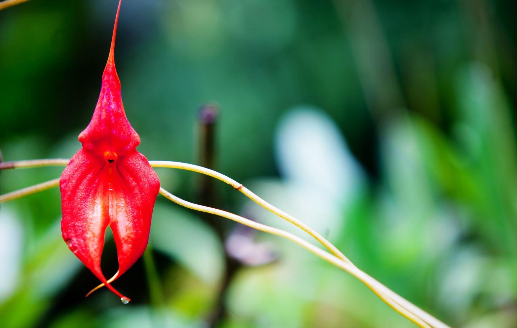Con el objetivo garantizar la conservación de las poblaciones de especies de orquídeas y sus hábitats, el Servicio Nacional Forestal y de Fauna Silvestre (Serfor) del Ministerio de Agricultura y Riego, inició en Moyobamba, San Martín, los talleres para recoger aportes en la elaboración del Plan de Conservación de las Orquídeas del Perú. ANDINA/archivo