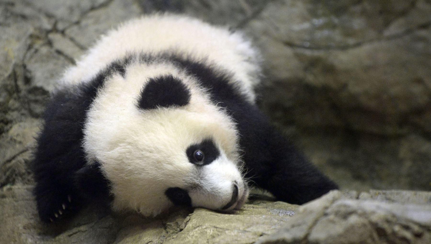 """Fue visitado por las primeras damas de China, Peng Liyuan, y Estados Unidos, Michelle Obama, quienes revelaron en esa ocasión su nombre: Bei Bei que en mandarín significa """"precioso"""". Foto: AFP"""
