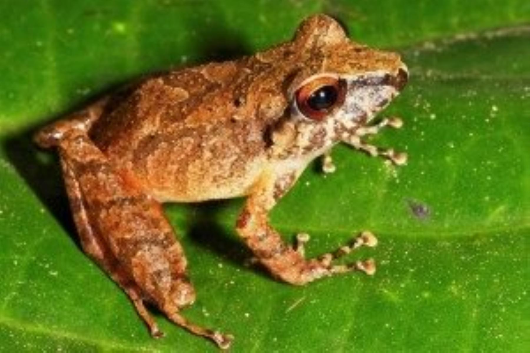 New frog species found at alto purus national park in peru for Frog agency