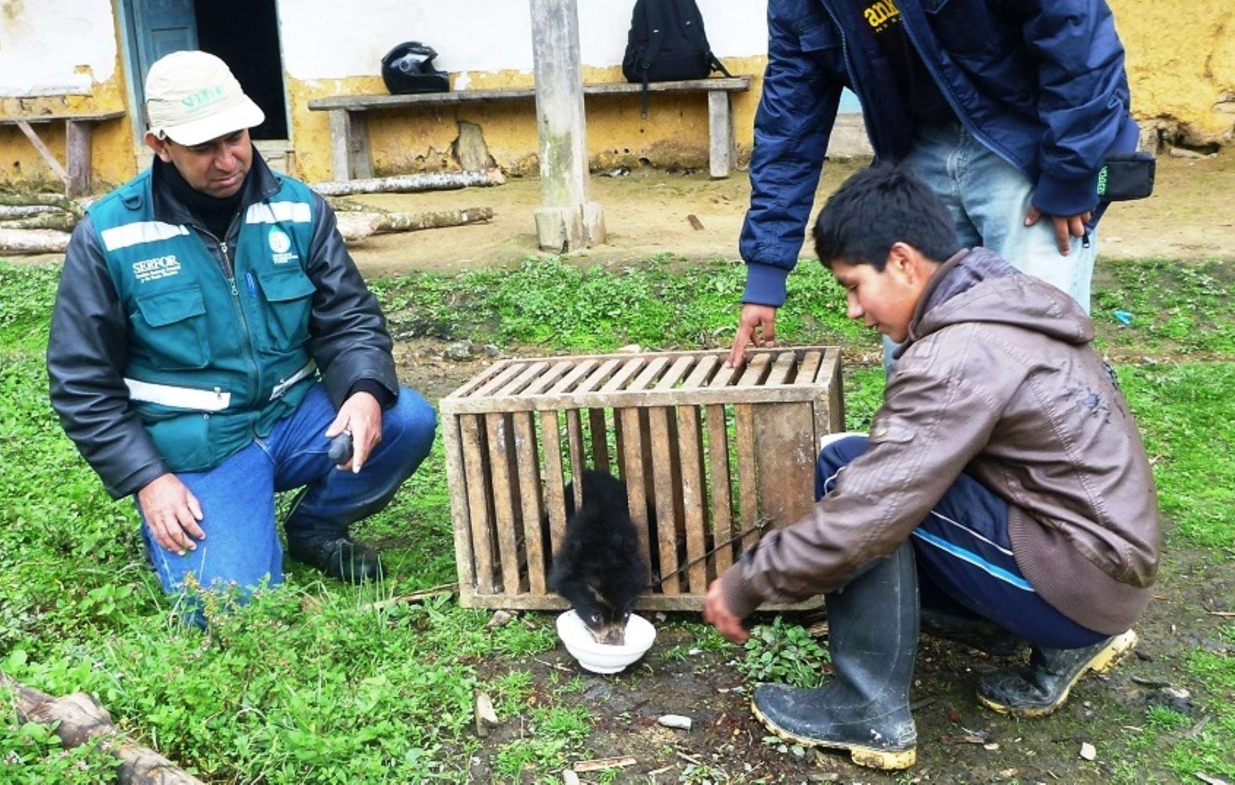 Personal del Serfor Piura rescató a cría de oso de anteojos que se hallaba perdida en zona agrícola de Huancabamba. ANDINA