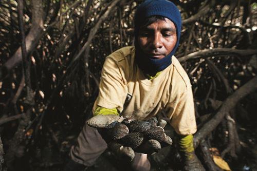 El Santuario Nacional Los Manglares de Tumbes es una de las áreas naturales protegidas del Perú con una singular biodiversidad de fauna, donde resalta la concha negra, especie hidrobiológica que constituye el eje de la economía pesquera artesanal regional. ANDINA/archivo