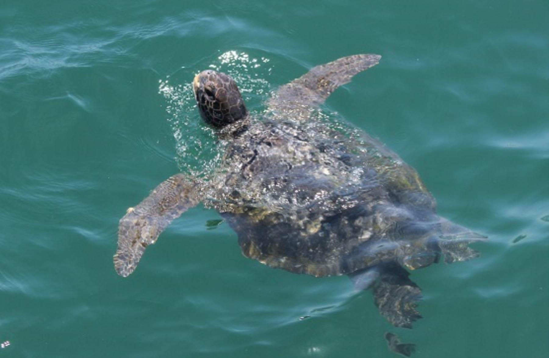 El Gobierno de Perú aprobó el Plan Nacional de Conservación de las Tortugas Marinas. ANDINA/Difusión