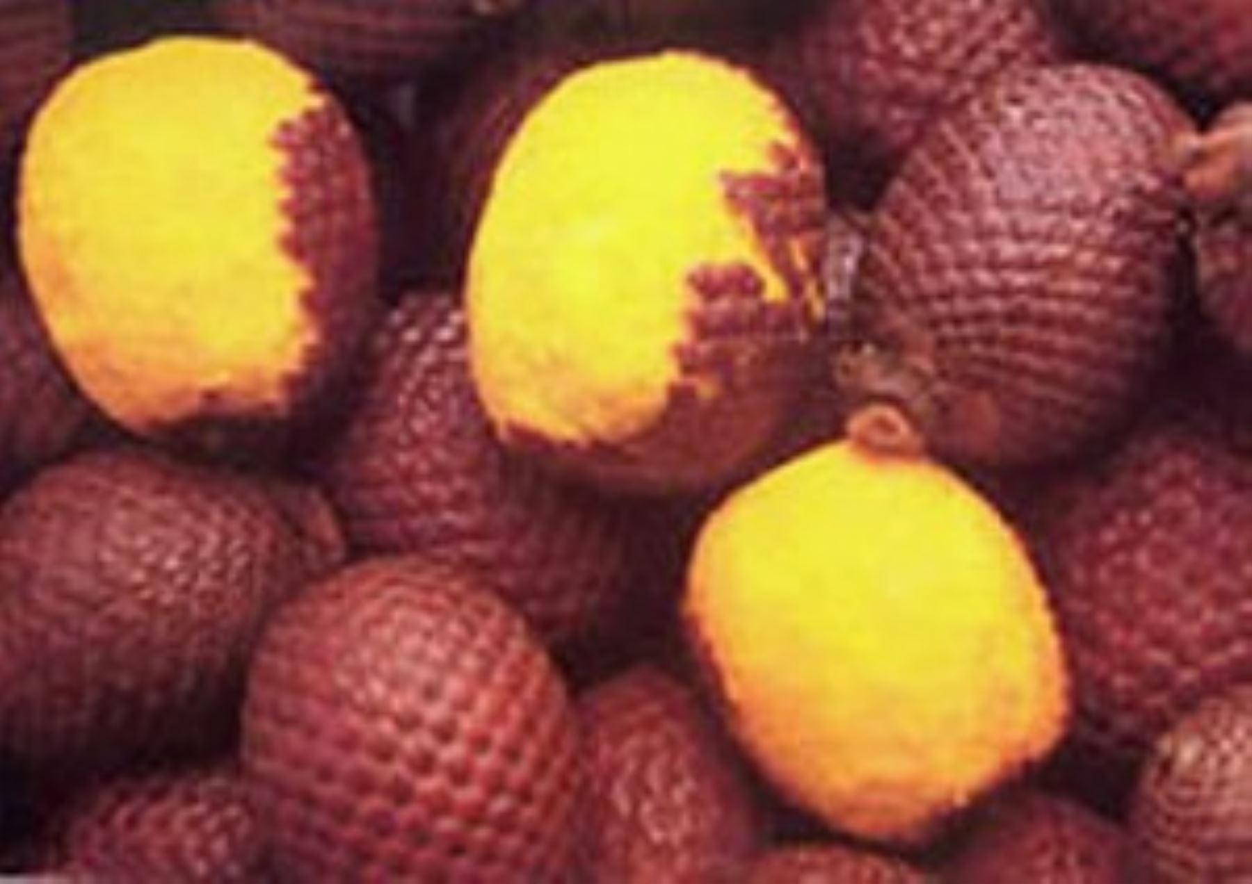 El aguaje (Mauritia fleuxosa) es el fruto de la palmera más representativa de la Amazonía, crece en los bosques inundados, principalmente en Loreto, Ucayali y Madre de Dios. ANDINA/Difusión