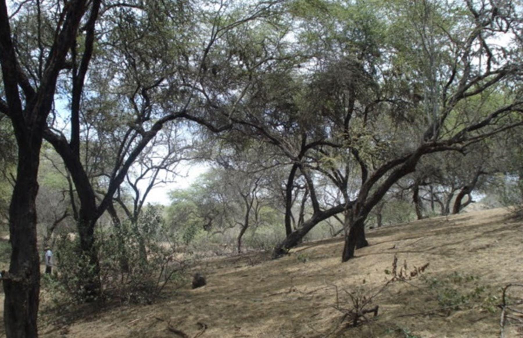 Resultado de imagen para montero piura bosque