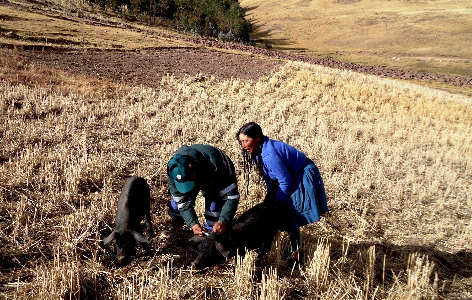 Senasa ejecuta campaña de vacunación de cerdos contra la peste porcina clásica en Huancavelica. ANDINA