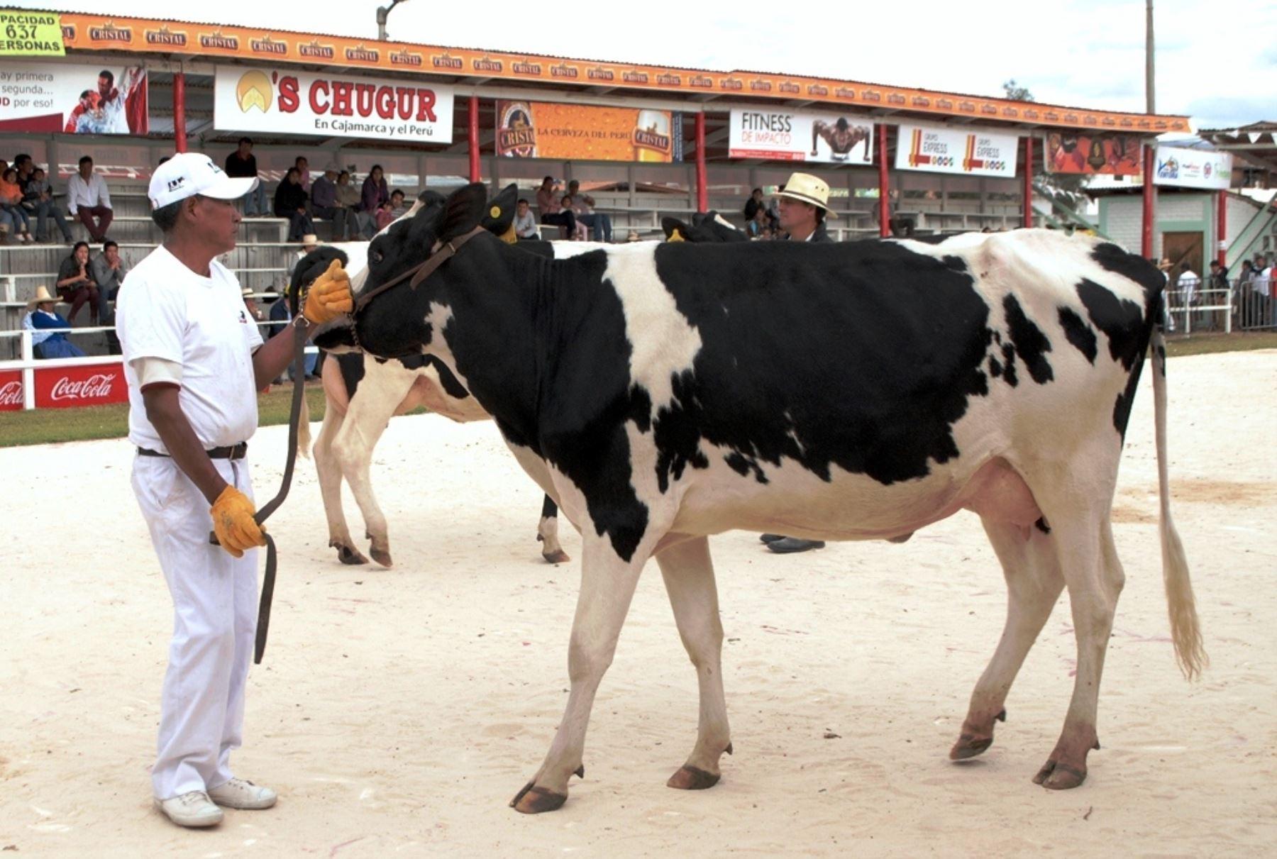 Productores de ganado vacuno de Cajamarca lucieron sus mejores ejemplares en Feria Fongal. ANDINA/Eduard Lozano