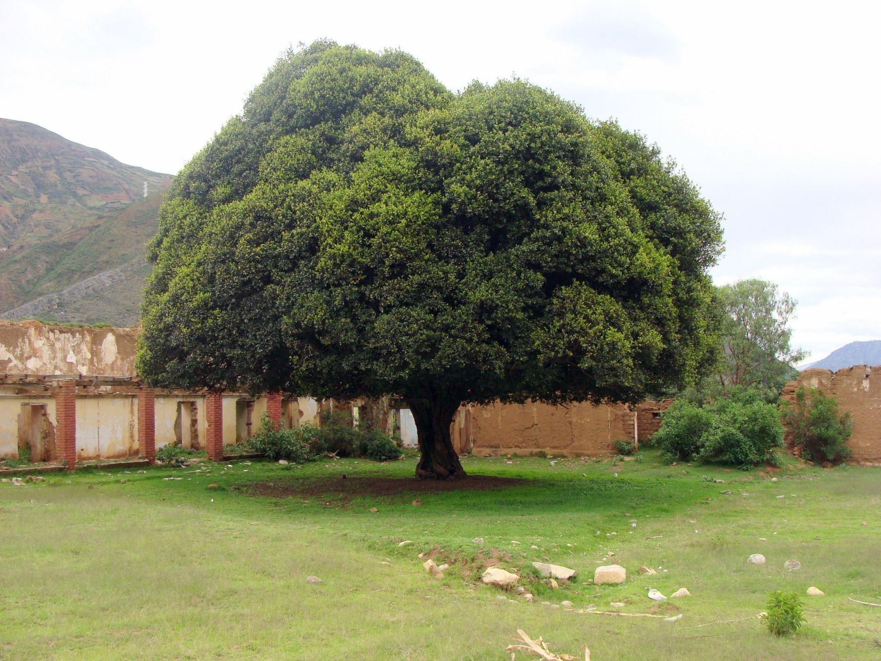 Área de conservación privada en Piura protege al emblemático árbol de la quina
