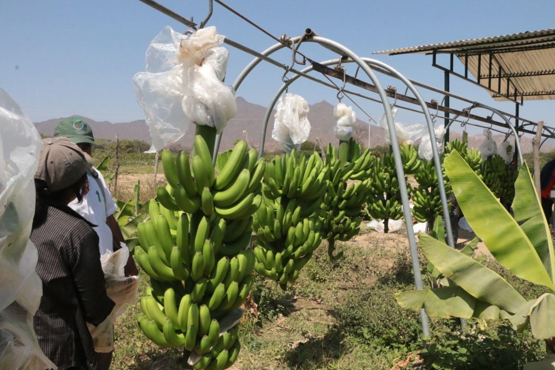 Minagri potencia la producción de banano orgánico para exportación en Piura. ANDINA