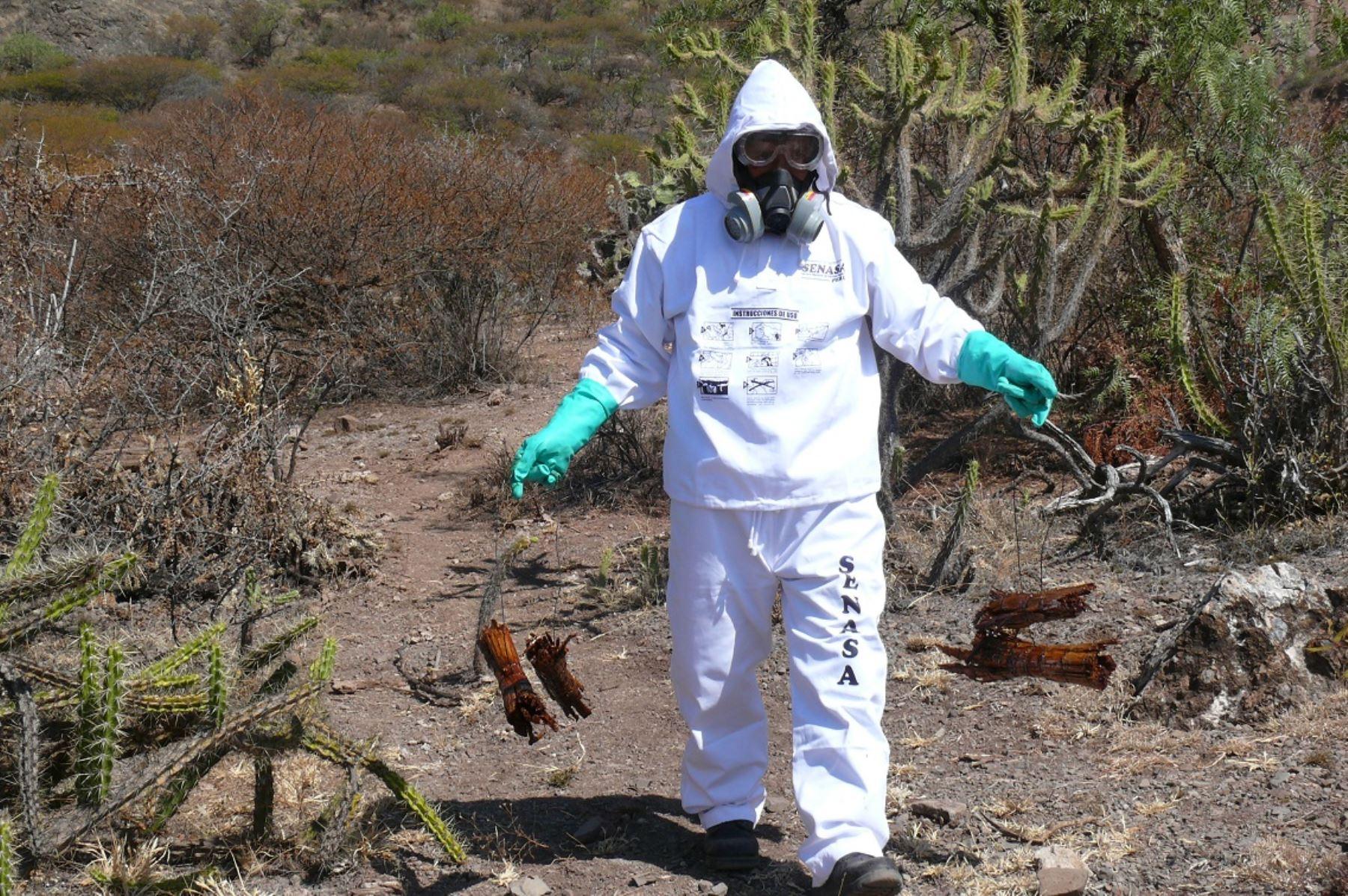 Ejecutan acciones para evitar propagación de la plaga de langosta en Huancavelica.