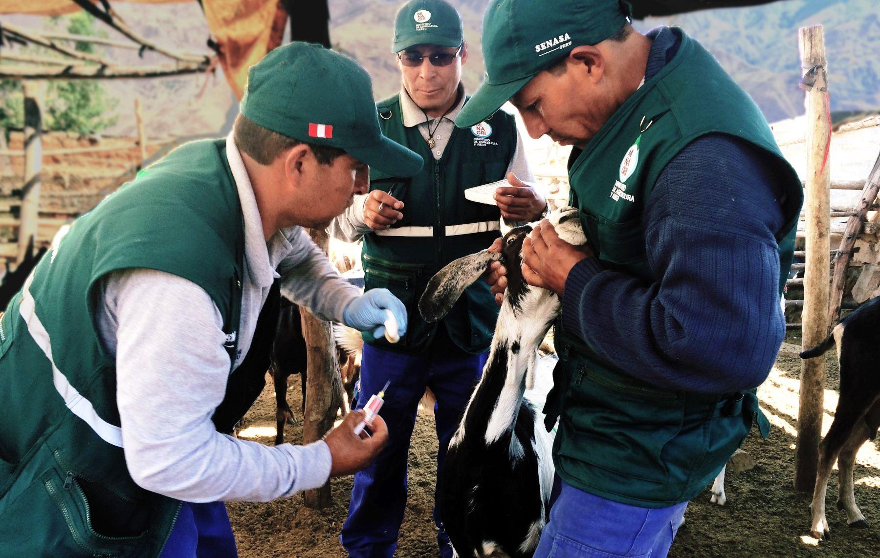 Senasa evalúa situación sanitaria del ganado caprino en Huancavelica. ANDINA/Pedro Tinoco