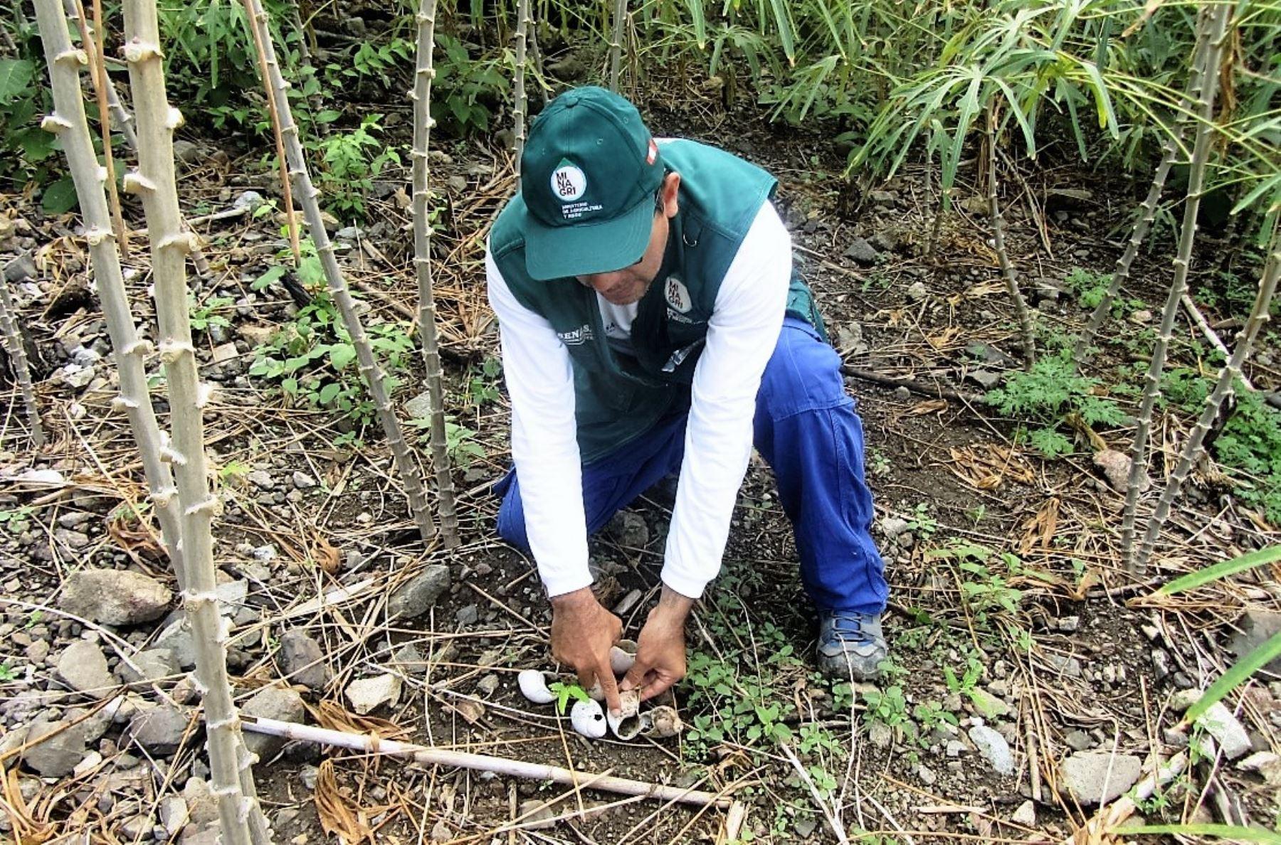 Cajamarca ejecuta acciones contra el caracol gigante que afecta cultivos. ANDINA/Eduard Lozano