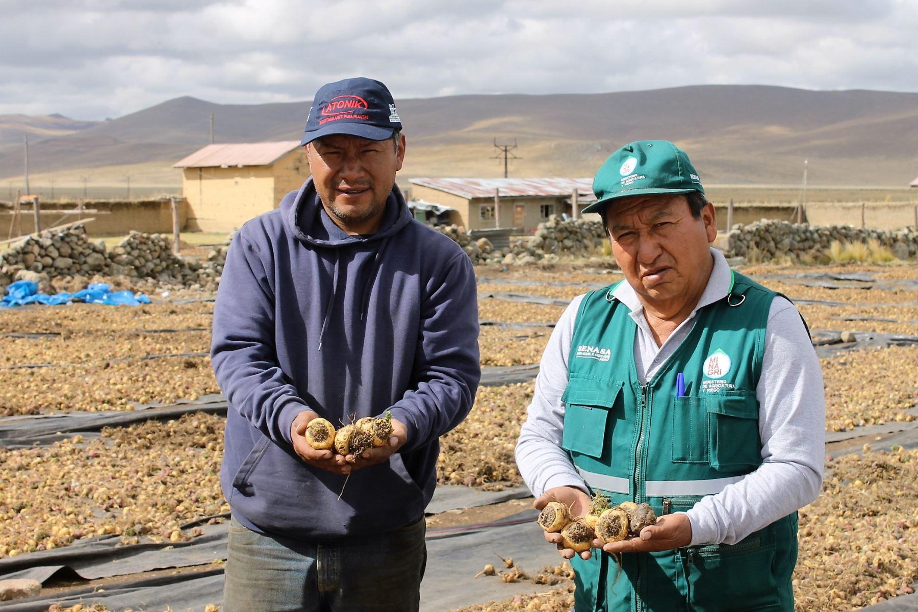 Controladores biológicos permiten mejorar cultivos de maca en Junín. ANDINA